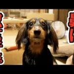 すしらーめんりく 癒される愛犬ウェーブの可愛い動画まとめ!オリジナルTシャツも…